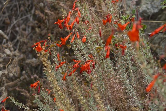 zauschneria 0000 Pine Ridge Trail, Big Sur, CA, USA