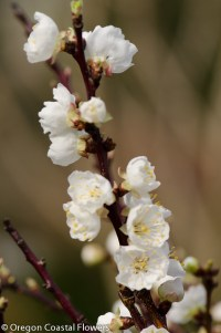 apricot flowering branches