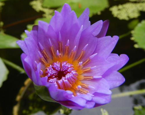 Hoi An Purple Waterlily