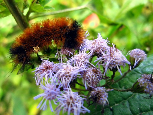 Woolly Bear by pixygiggles
