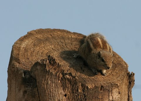sqrl tree trunk