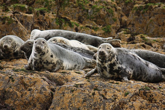 Grey seals at Farne Island
