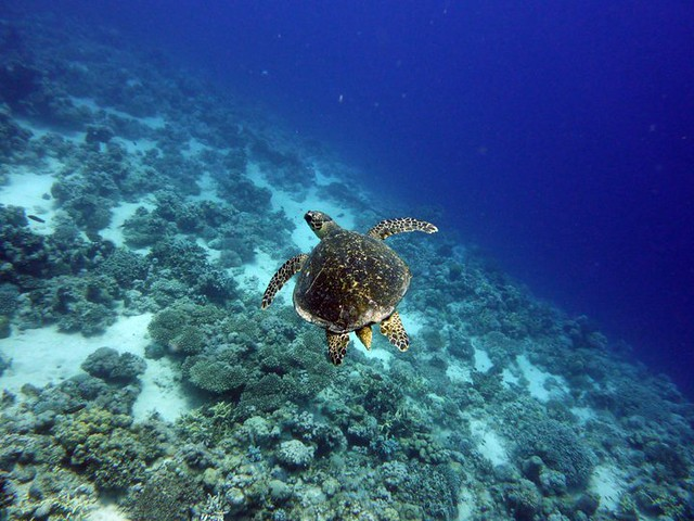 Green Sea Turtle, Marsa Alam