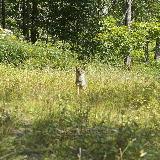 coyote 0000 Adirondack, NY, USA