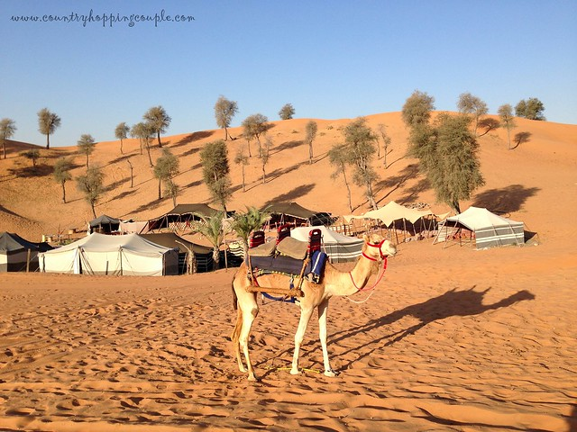 Camel in the campsite