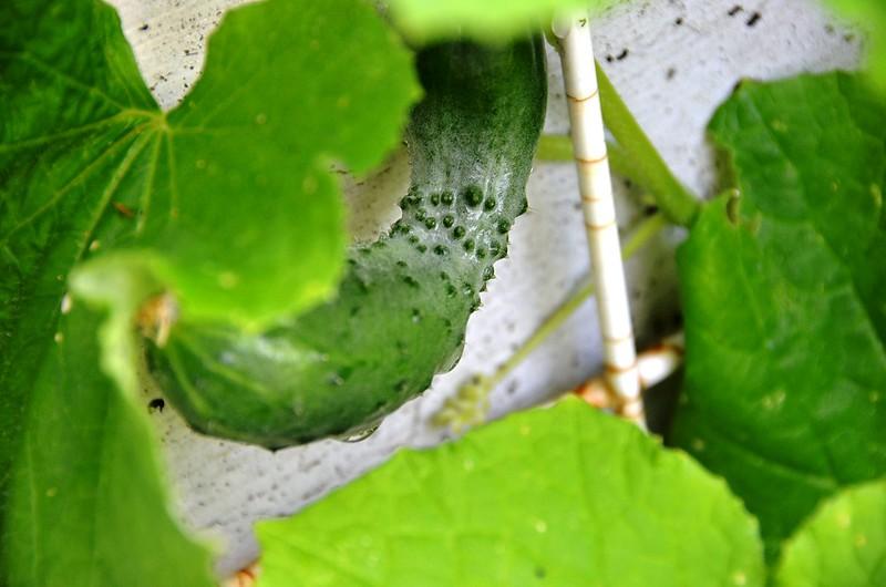 The First Cucumber 2013