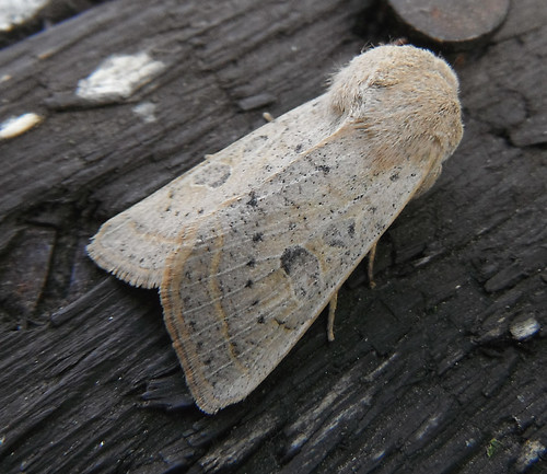 Powdered Quaker Orthosia gracilis Tophill Low NR, East Yorkshire May 2013