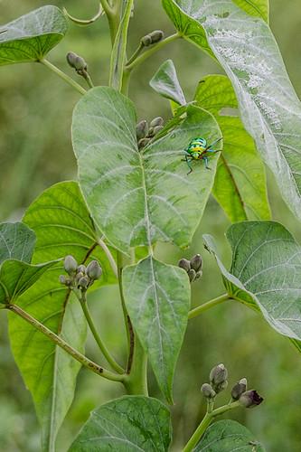 Jewel Bug Chrysocoris stolli