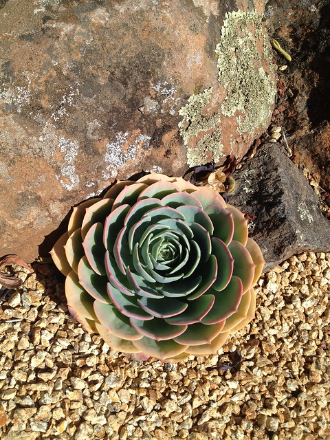 Red-tipped echeveria