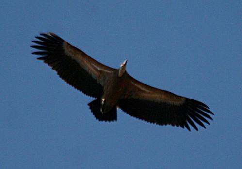 Griffon Vulture Gyps fulvus Cabranosa, Sagres, Portugal October 2013