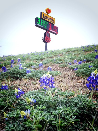 First Bluebonnets of the 2014 in Seguin