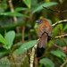 Uniform Antshrike (Thamnophilus unicolor) female