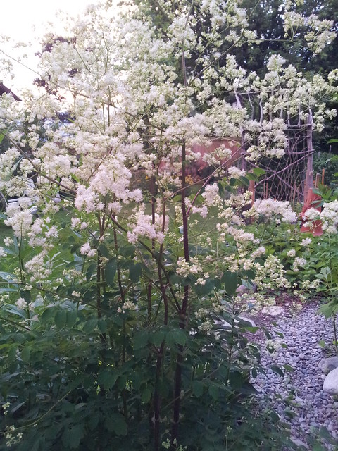 Cloud of Tall Meadow Rue