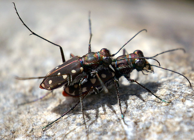 Tiger Beetle Pair No. 2