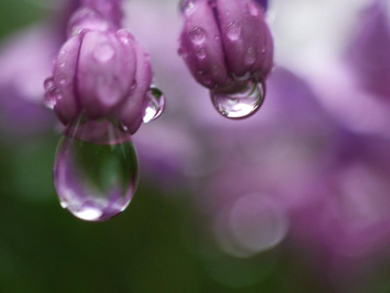Lilac - Color