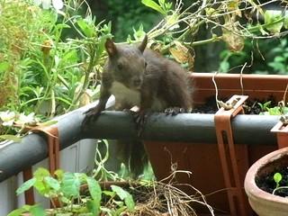 Eichhörnchen 13
