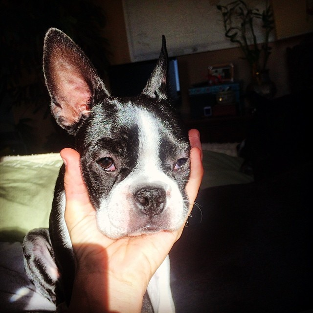 """This is why I call this little goober """"baseball head."""" #Alya #puppy #bostonterrier"""