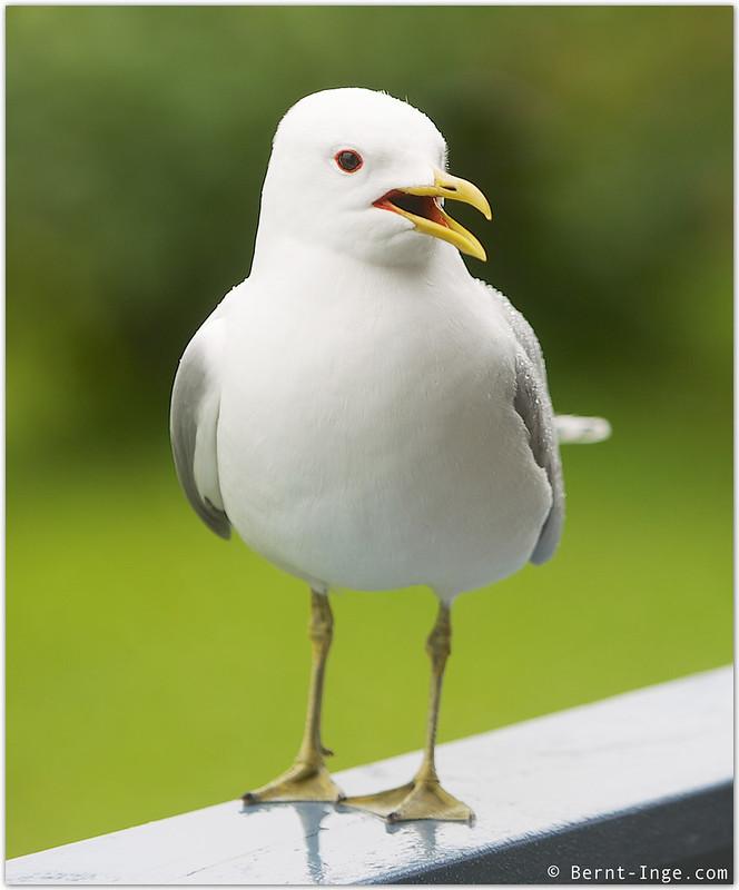 Seagull Talking