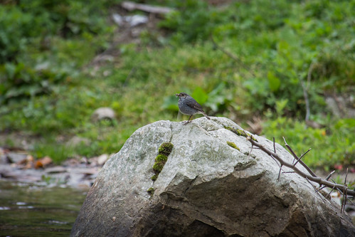 Plumbeous Water Redstart (female)