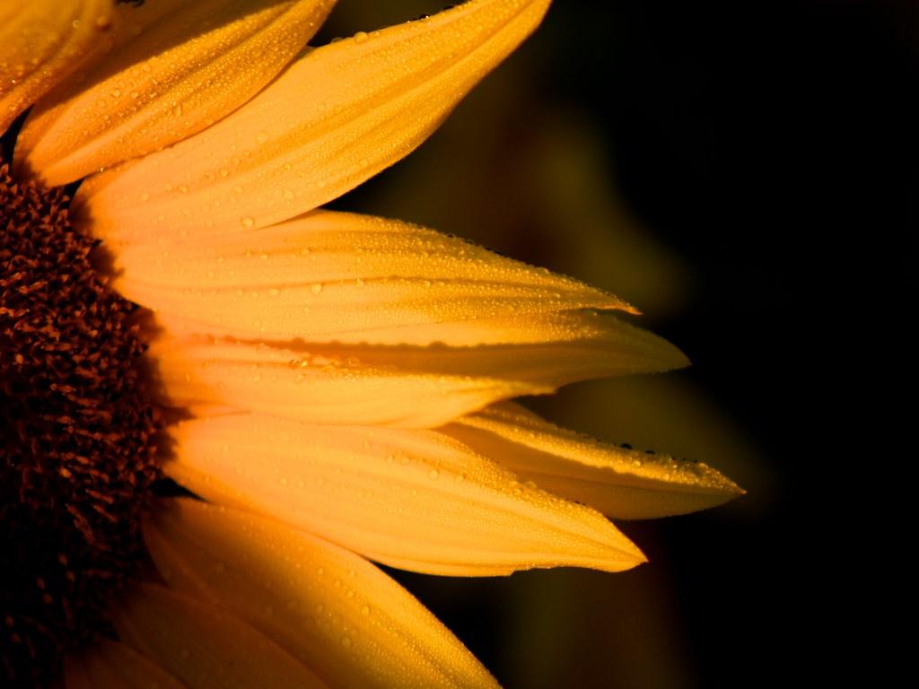 Dawn Sunflower 6