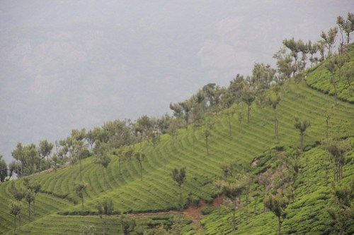 Terraced tea gardens