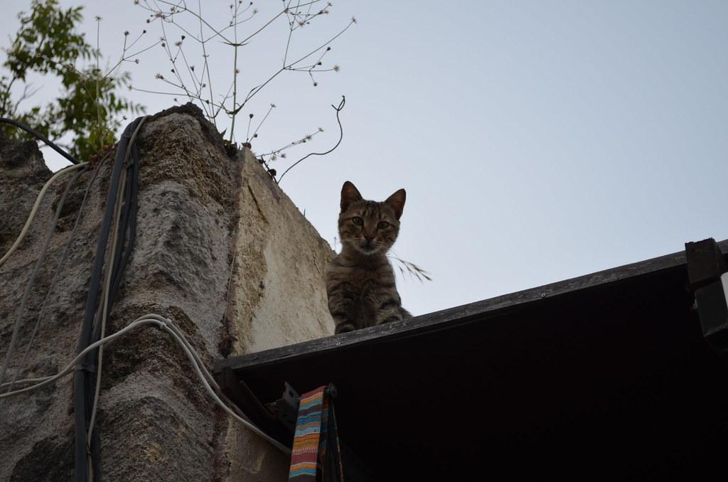 Rhodes Cat