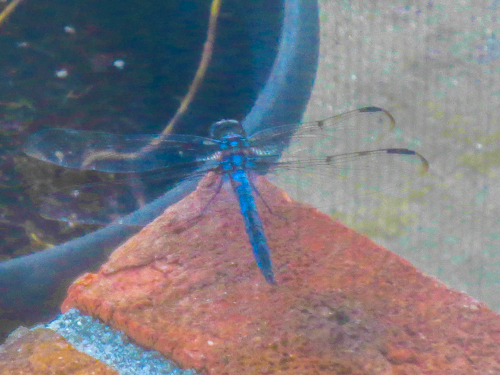 Blue Dragon Fly unclose
