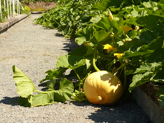 Gourd or Pumpkin