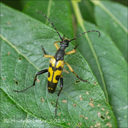 Yellow and Black Longhorn Beetle