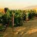 #Harvest2013 Chateau Kefraya