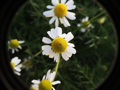 flores macro com Raynox