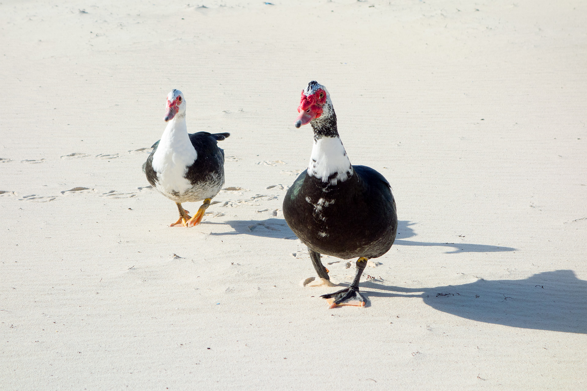 A curious pair of geese