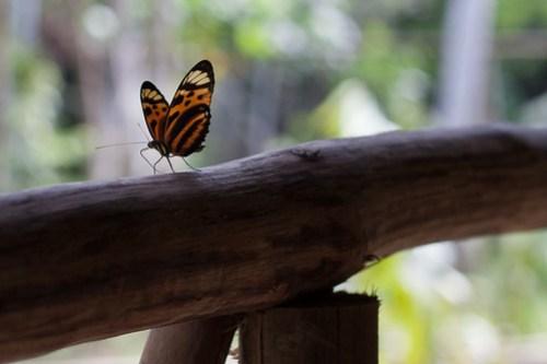 DAS butterfly