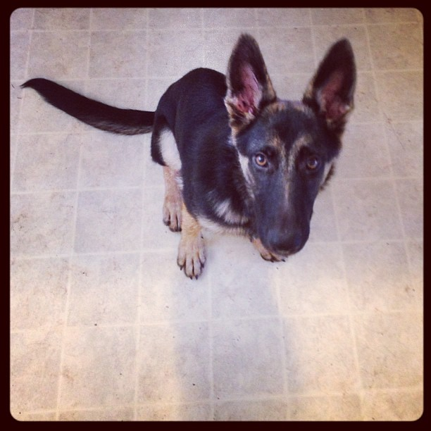 Now that is some well-practiced cuteness. #fosterpuppy #gsd