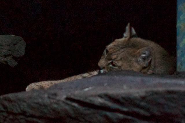 Bobcat Nap
