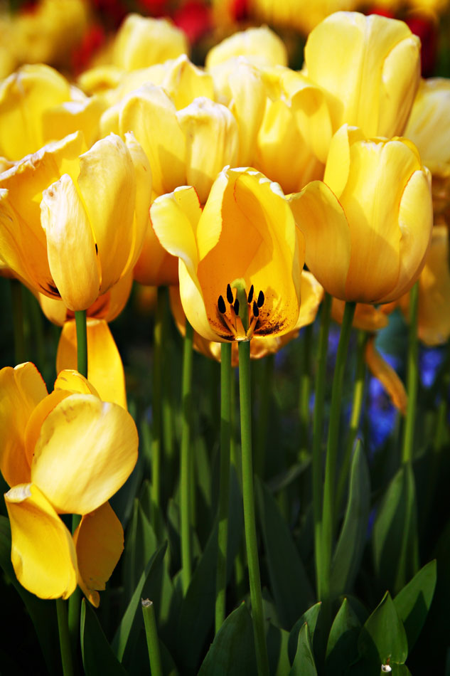Istanbul Tulip Festival - Yellow Tulips