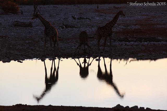 Giraffes at the pond - Okaukejo, Etosha National Park, Namibia