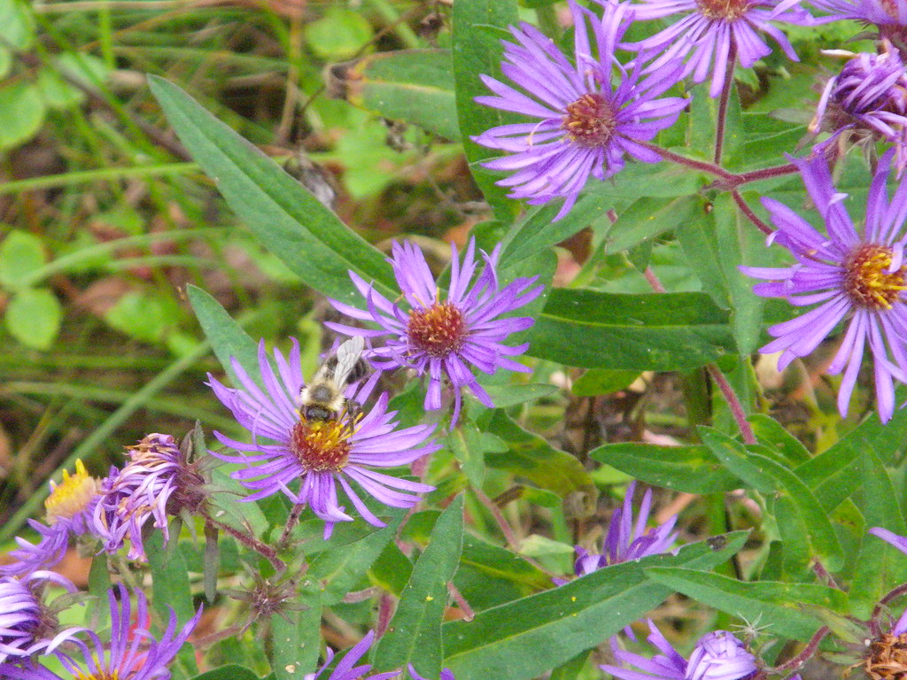 busy bees on wild asters