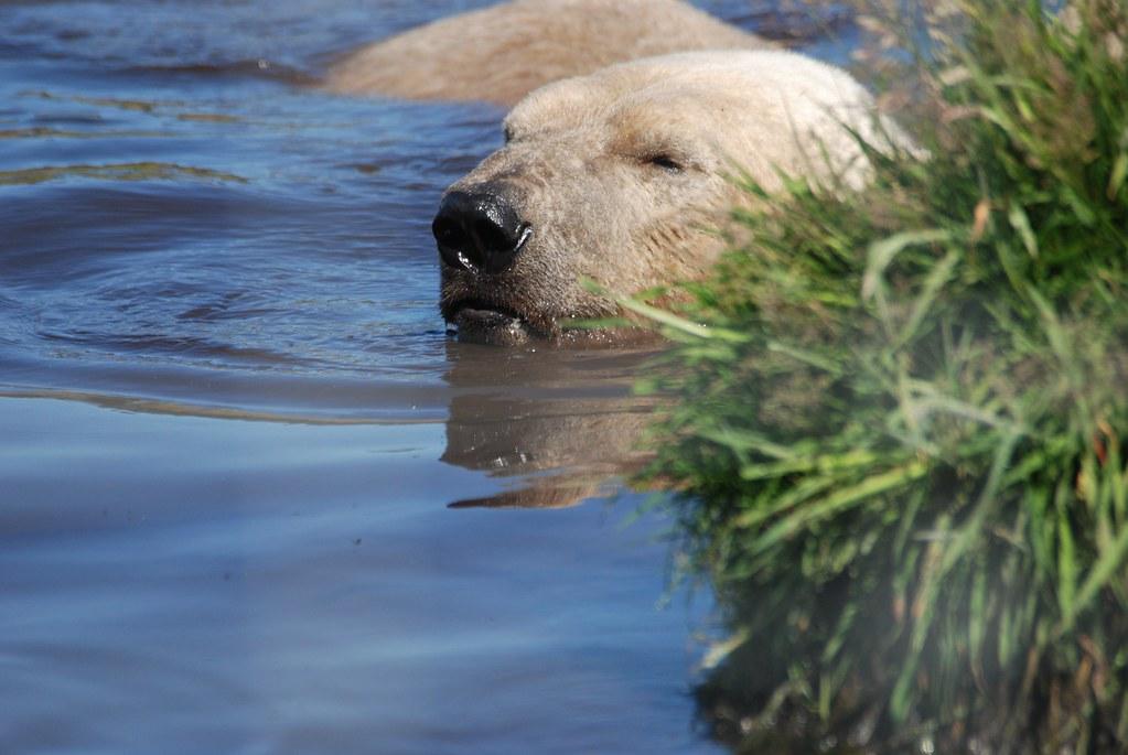 Eisbär Arktos im Highland Wildlife Park