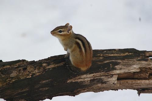 eastern chipmunk (Tamias (Tamias) striatus)