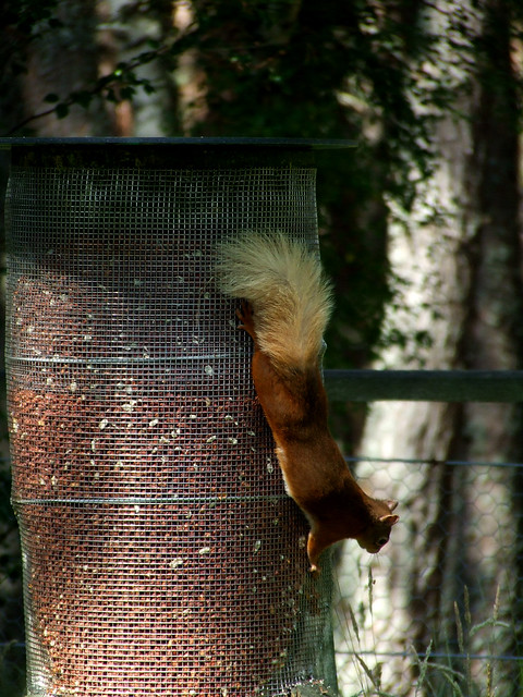 red squirrel on feeder