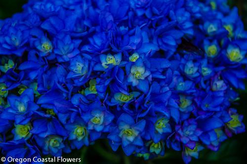 double flowering hydrangeas flowers