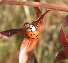 Harlequin ladybird (Harmonia axyridis), Goose Lake State Wildlife Area, WI