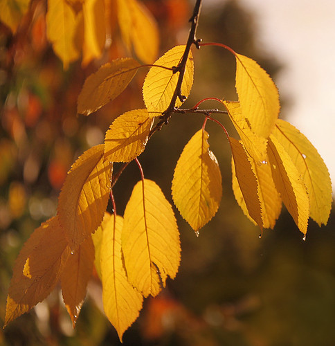 Autumn Cherry Leaves