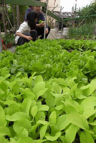 來去外婆家採蕃茄、採菜、撥皇帝豆(9.5ys)