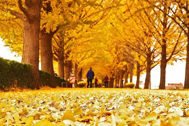 Asan Gingko Tree Road Flickr Photo Sharing
