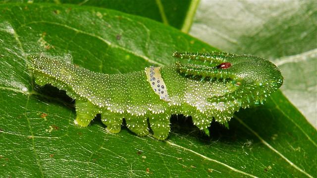 Caterpillars  a gallery on Flickr