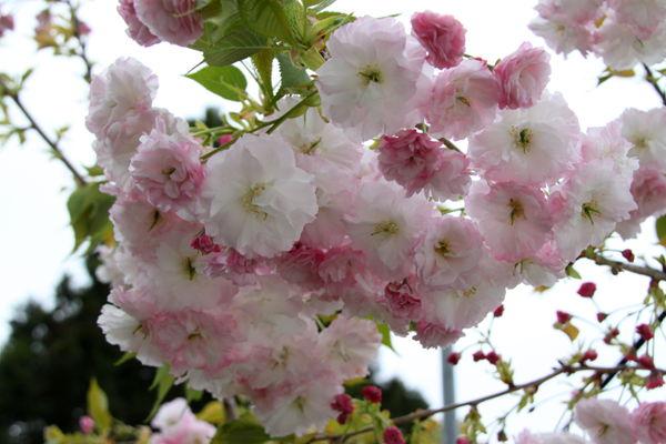 臺灣櫻花品種 - 臺灣櫻花品種  - 快熱資訊 - 走進時代