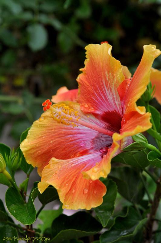 hibiscus_web