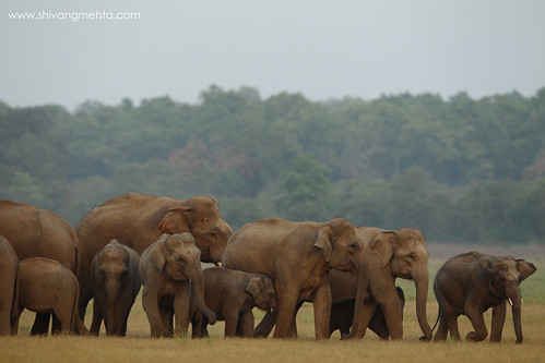 Herd in Corbett